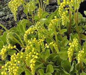 Goldtröpfchen Jim Pride - Chiastophyllum oppostifolium