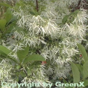 Virginischer Schneebaum 100-125cm - Chionanthus virginicus