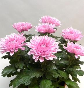 Winteraster Nebelrose - Chrysanthemum Indicum