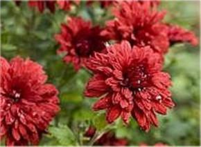 Winteraster Oury - Chrysanthemum hortorum