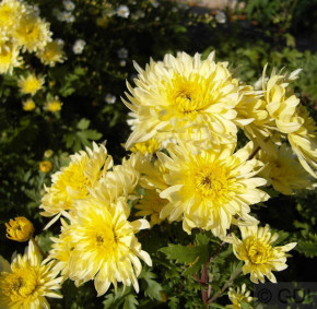 Winteraster Erntekranz - Chrysanthemum hortorum