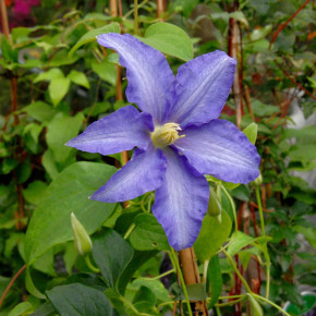 Evison Waldrebe Olympia® 40-60cm - Clematis
