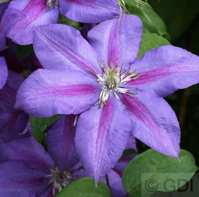 Waldrebe Mrs Nelly Thompson 40-60cm - Clematis