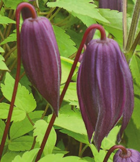 Alpen Waldrebe Tage Lundell 60-80cm - Clematis alpina