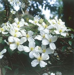 Berg Waldrebe Grandiflora 100-125cm - Clematis montana