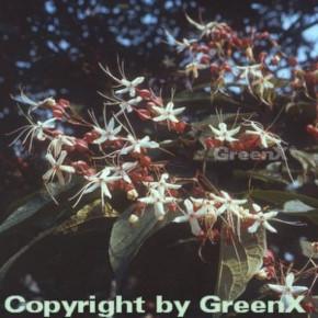 Japanischer Losbaum 60-80cm - Clerodendrum trichotomum