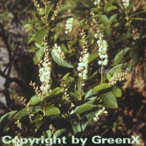 Berg Zimterle 40-60cm - Clethra acuminata