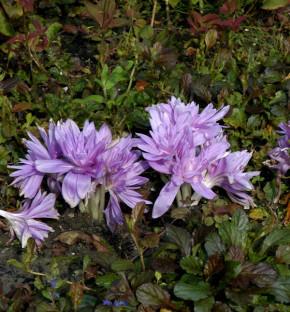 Herbstzeitlose Waterlily - Colchicum speciosum