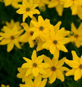 Mädchenauge Grandiflora - Coreopsis verticillata