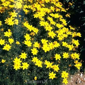 Mädchenauge Schöngesicht - Coreopsis verticillata