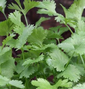 Echter Koriander Slowbolt - Coriandrum sativum