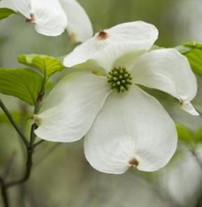 Amerikanischer Blumenhartriegel 100-125cm - Cornus florida