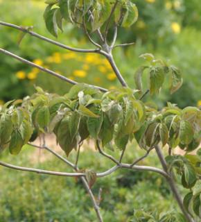 Amerikanischer Blumenhartriegel Sweetwater 60-80cm - Cornus florida