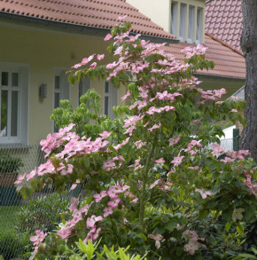 Chinesischer Blumen Hartriegel Rosy Teacups 100-125cm - Cornus kousa