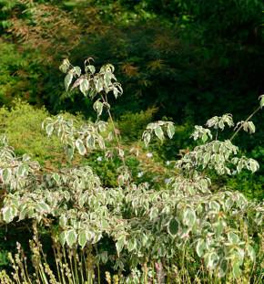 Chinesischer Blumen Hartriegel Samaritan 40-60cm - Cornus kousa