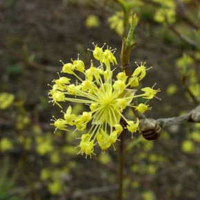Arzneihartriegel 40-60cm - Cornus officinalis
