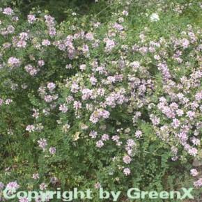 Bunte Kornwicke - Coronilla varia