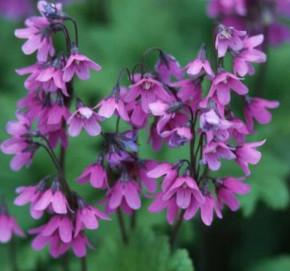 Heilglöcklein Alpen Glöckchen - Cortusa matthioli