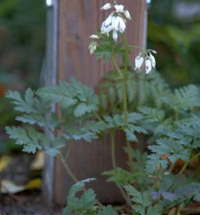 Heilglöcklein Alpen Glöckchen Alba - Cortusa matthioli