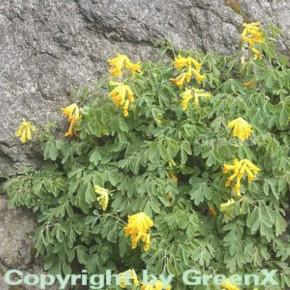 Gelber Lerchensporn - Corydalis lutea