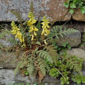 Farn Lerchensporn - Corydalis wilsonii