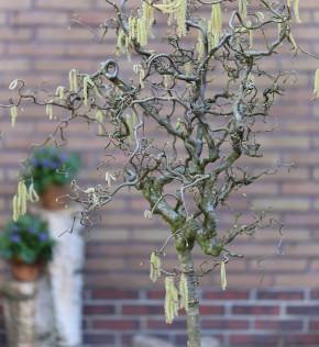 Hochstamm Korkenzieher Hasel 80-100cm - Corylus avellana