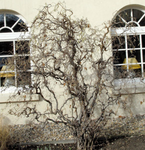 Korkenzieher Hasel 100-125cm - Corylus avellana