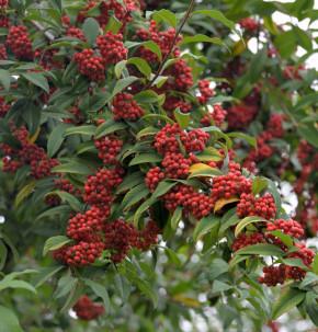 Wintergrüne Baummipel Cornubia 80-100cm - Cotoneaster watereri