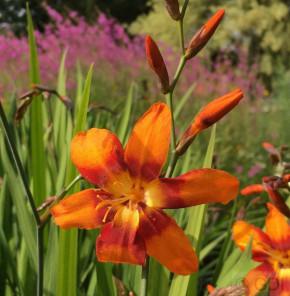 Garten Monbretie Emily Mc Kenzie - Crocosmia masoniorum