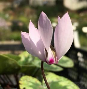 Anatolien Alpenveilchen - Cyclamen cilicium