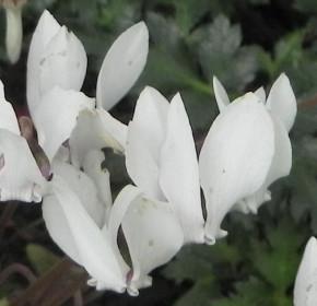 Frühlings Alpenveilchen Album - Cyclamen coum