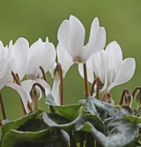 Herbst Alpenveilchen Ice Pure White - Cyclamen hederifolium