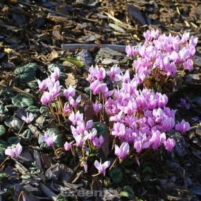 Herbst Alpenveilchen Ivy Ice Purple - Cyclamen hederifolium