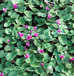 Herbst Alpenveilchen Silverleaf Pink - Cyclamen hederifolium