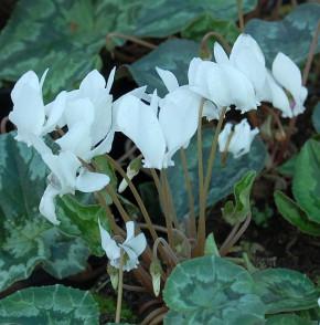 Herbst Alpenveilchen White Pearl - Cyclamen hederifolium
