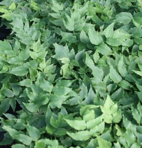 Sichelfarn Clivicola - Cyrtomium fortunei