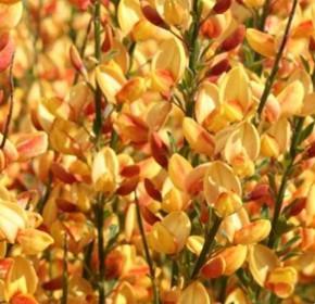 Edelginster Apricot Gem 40-60cm - Cytisus scoparius