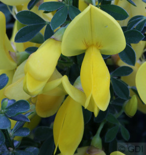 Edelginster Golden Sunlight 40-60cm - Cytisus scoparius