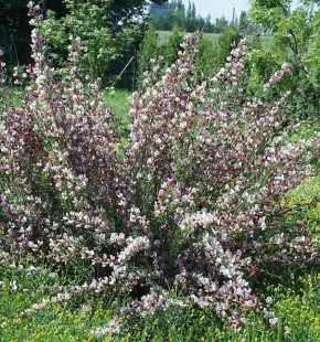 Edelginster Moyclare Pink 60-80cm - Cytisus scoparius