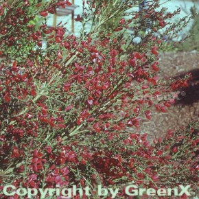 Edelginster Booskop Ruby 40-60cm - Cytisus scoparius