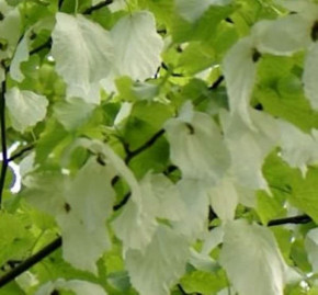 Taubenbaum Taschentuchbaum Somoma 40-60cm - Davidia involucrata