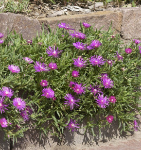 Rosa Mittagsblümchen - Delosperma cooperi