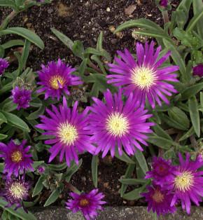 Violettes Mittagsblümchen - Delosperma sutherlandii