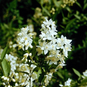 Kleine Deutzie Maiblumenstrauch Yuki Snowflake 30-40cm - Deutzia scabra
