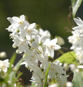 Kleine Deutzie Maiblumenstrauch 30-40cm - Deutzia gracilis