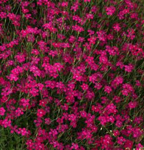 Heidennelke Brilliant - Dianthus deltoides