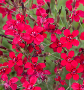 Heidennelke Leuchtfunk - Dianthus deltoides
