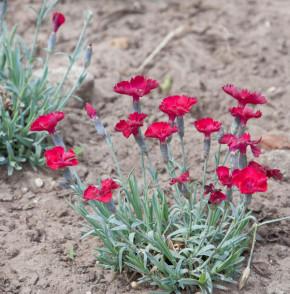 Pfingstnelke Rubin - Dianthus gratianopolitanus