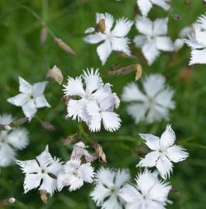 Igel Nelke - Dianthus petraeus