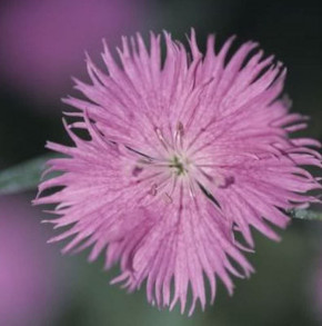 Federnelke Altrosa - Dianthus plumarius